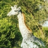 omo-girafe-blanche-1-400px-124497.jpg