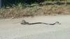 maman-rat-attaque-un-serpent-pour-liberer-son-petit-x240-9qz-138936.jpg