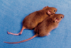 cloned-mice-with-different-dna-methylation-121858.png